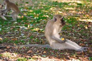 Vervet macaco fora
