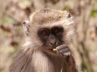 Vervet macaco - um retrato