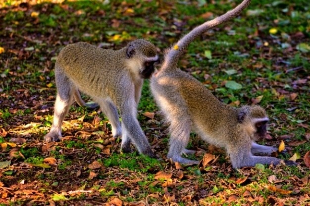 Vervet monkey business