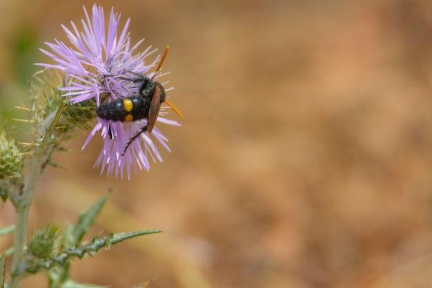 Vespa, abelha (scolia hirta) alimentando-se de flor de cardo selvagem