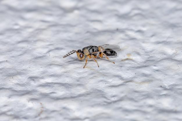 Vespa chalcidoid de semente pequena adulta da família eurytomidae