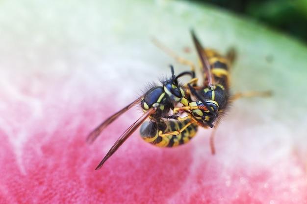 Vespa em uma melancia close-up em um fundo de grama uma macro de vespas acasala