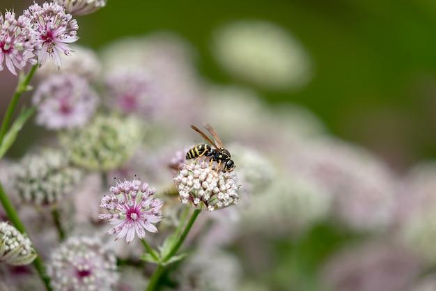 Vespa está procurando o néctar nas flores do arbusto