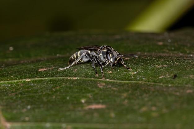 Vespa mel adulta de cintura longa do subgênero myrapetra