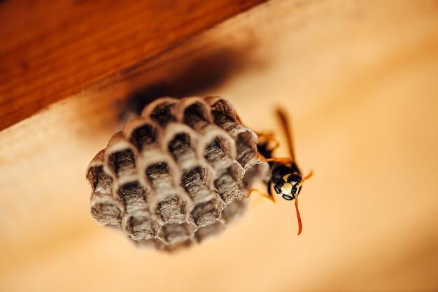 Vespa pequena proteger seus favos de mel em macro. fim preto amarelo listrado perigoso do inseto acima. vespiary com espaço da cópia na madeira. salvaguarda da propriedade.