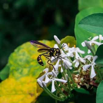 Vespa procurando néctar doce de flores.