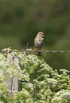 Vesper sparrow cantando
