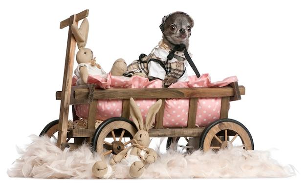 Vestida de chihuahua sentado na carroça de cama de cachorro com bichos de pelúcia de páscoa
