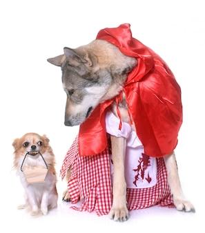 Vestido de wolfdog saarloos e chihuahua