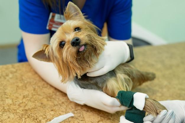 Vet coloca um cateter no cão na clínica veterinária