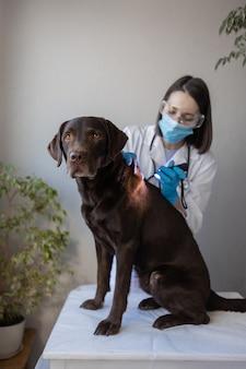 Veterinária europeia examina cachorro labrador em uma consulta