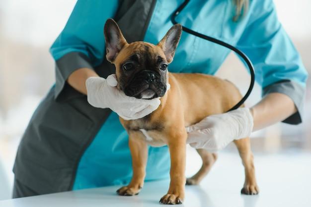 Veterinária examinando buldogue francês com estetoscópio na cama