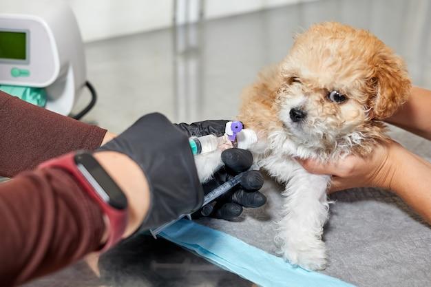 Veterinário administra medicação a um filhote de cachorro maltipoo por meio de um cateter em sua pata