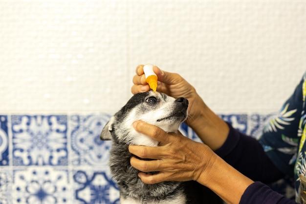 Veterinário aplicando colírio antibiótico no olho de um cachorro pequeno