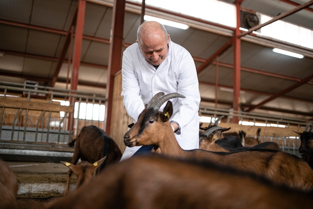 Veterinário aplicando injeção em animais domésticos cabras na fazenda