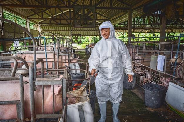 Veterinário asiático trabalhando e alimentando o alimento de porco em fazendas de porco
