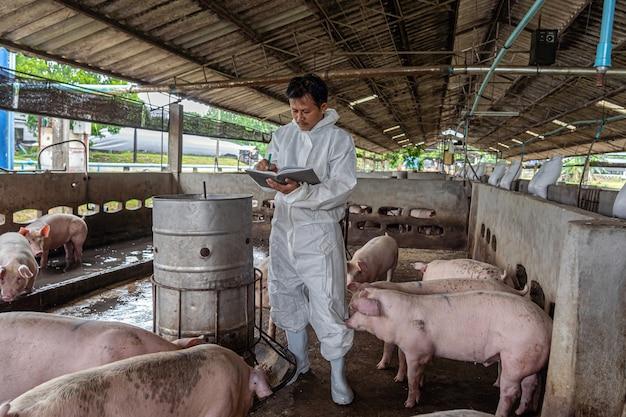 Veterinário asiático trabalhando e verificando suínos em fazendas de suínos, indústria de criação de animais e suínos