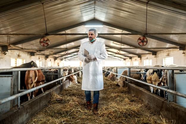 Veterinário caucasiano dedicado andando no celeiro com um tablet sob a axila e verificando as vacas.