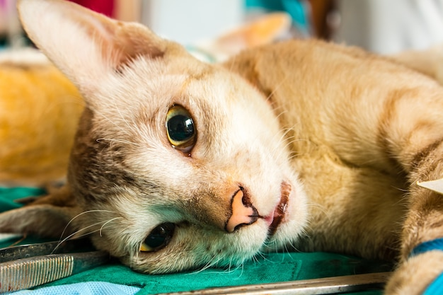 Veterinário cirurgião castrando um gato