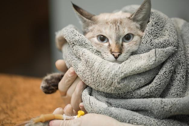 Veterinário colocando um cateter através de um gato na clínica