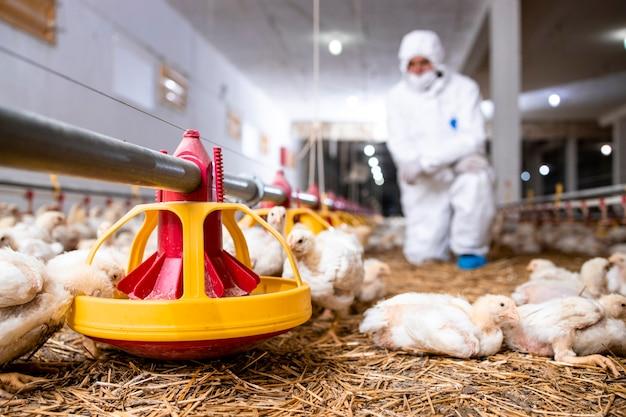 Veterinário com roupas esterilizadas controlando a saúde das galinhas em uma granja moderna.