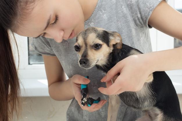 Veterinário corta as garras de um cãozinho terrier de brinquedo na clínica. prevenção de doenças nas patas de um animal
