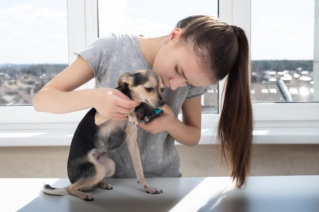 Veterinário corta as garras de um cãozinho terrier de brinquedo na clínica