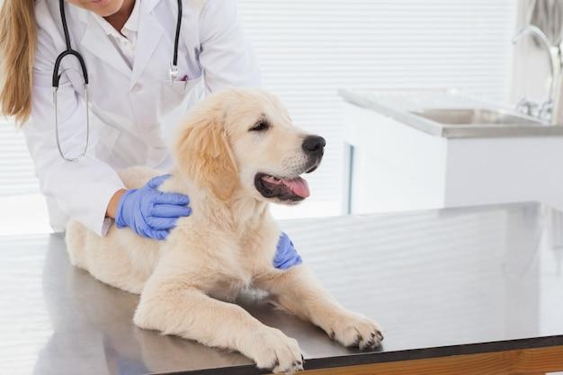 Veterinário dando um cão um check-up em um escritório de veterinários