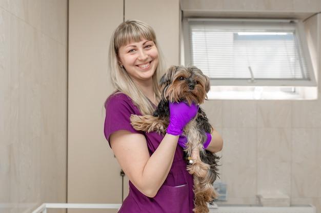 Veterinário de jovem na clínica examinar com estetoscópio um cão da raça yorkshire terrier.