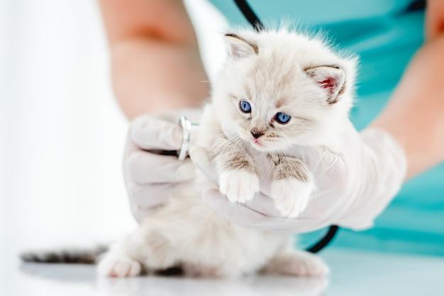 Veterinário de mulher segurando o gatinho ragdoll bonito com lindos olhos azuis e examinando-o na clínica veterinária. retrato de gatinho fofo de raça pura em hospital de animais durante atendimento médico