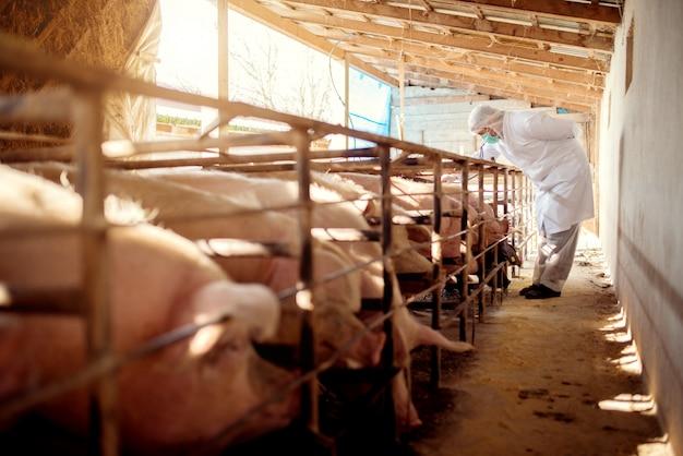 Veterinário de suínos que verifica porcos quanto a doenças