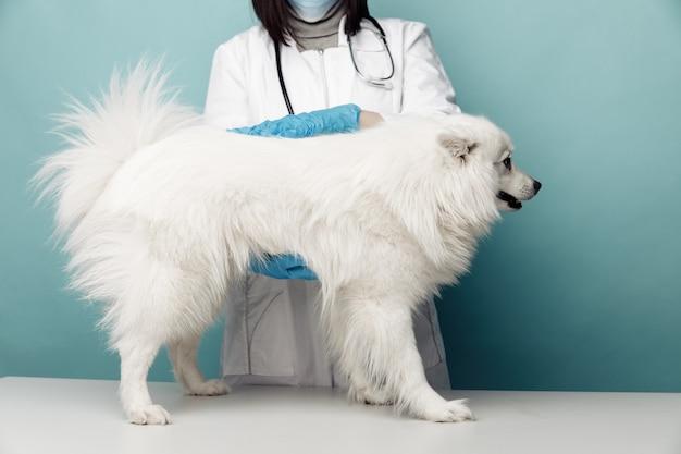 Veterinário de uniforme verifica o cão branco que fica na mesa na clínica veterinária.