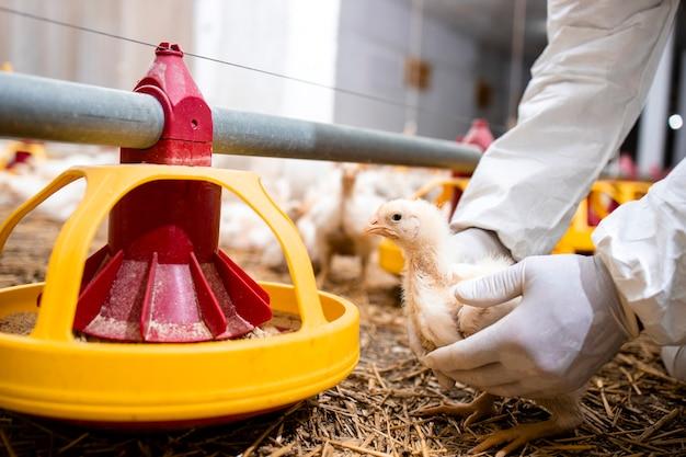 Veterinário em roupas esterilizadas segurando galinhas e controlando a saúde dos animais para produção de alimentos em granja.