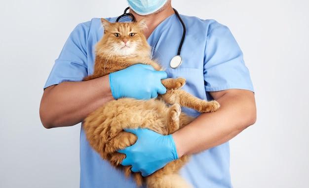 Veterinário em uniforme azul e luvas de látex estéreis detém e examina um grande gato vermelho macio