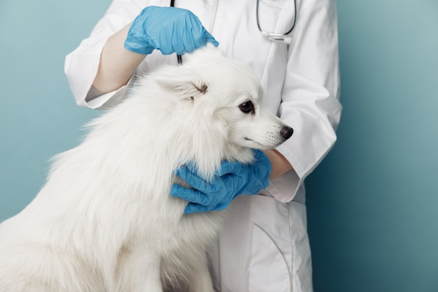 Veterinário em uniforme verifica o cão de orelhas em cima da mesa na clínica veterinária, o conceito de cuidados com animais de estimação.