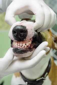 Veterinário examina os dentes e mandíbula de um cão