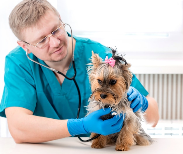 Veterinário examinando cachorro yorkshire terrier com estetoscópio