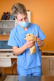 Veterinário examinando cobaia no consultório veterinário