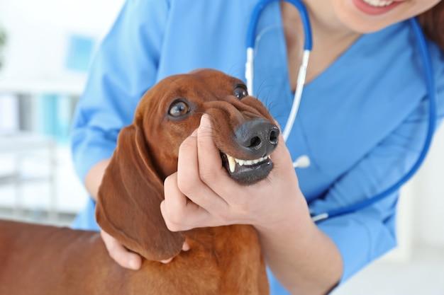 Veterinário examinando dentes de cachorro em clínica animal