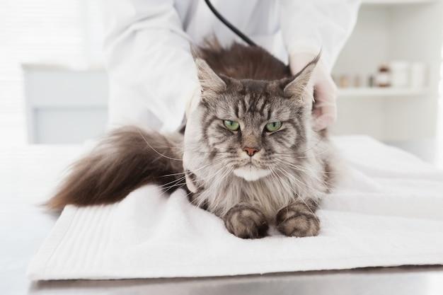 Veterinário examinando um gato cinzento