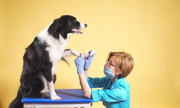 Veterinário feminino cuida das patas e unhas do cão.