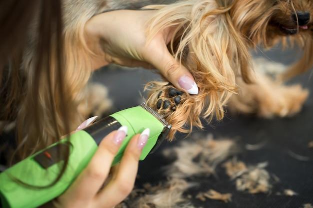 Veterinário que apara um yorkshire terrier com uma máquina de cortar cabelo em uma clínica veterinária. corte de cabelo feminino groomer yorkshire terrier em cima da mesa para aparar no salão de beleza para cães