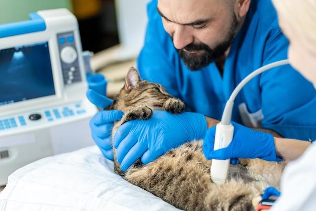 Veterinários realizam exame de ultrassom em um gato doméstico