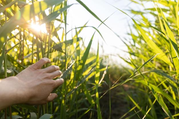 Viajante de homem andando calha verde fresca, toca mão um exuberante folhas longas ao pôr do sol
