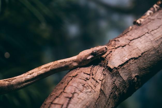 Víbora da montanha etíope