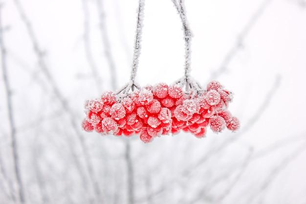 Viburnum congelado inverno sob a neve. viburnum na neve. primeira neve. outono e neve. lindo inverno