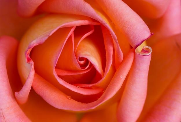 Victor borge rosa, variedade de flor rosa