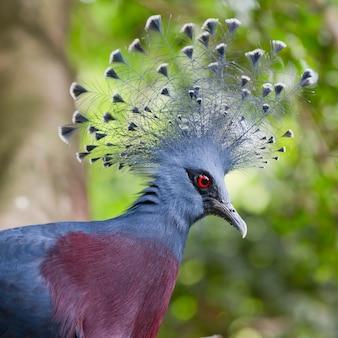 Victoria coroada pombo (goura victoria) close-up