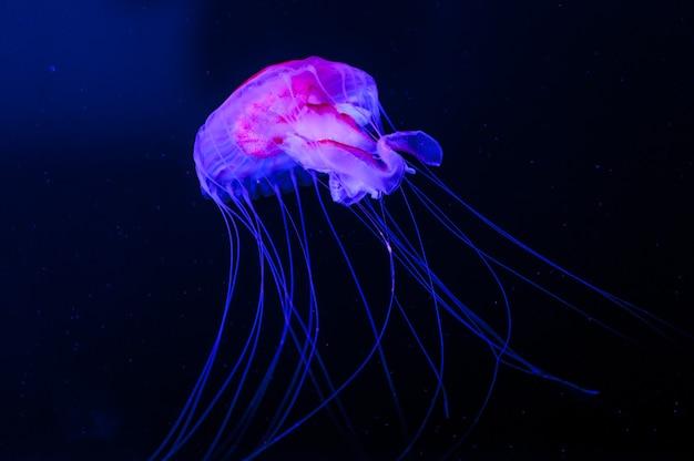 Vida marinha, close-up filmado em águas-vivas flutuando em um tanque de água limpa