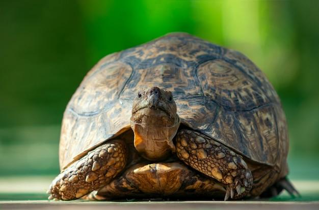 Vida selvagem africana. close de uma linda tartaruga deitada na savana em um dia ensolarado